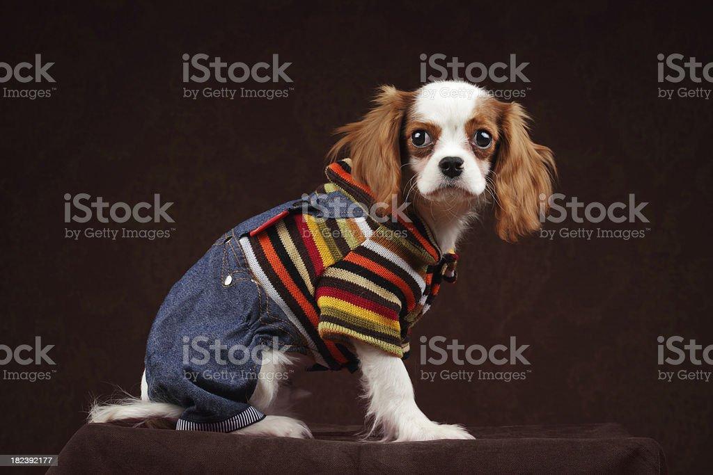 Dog Fashion stock photo