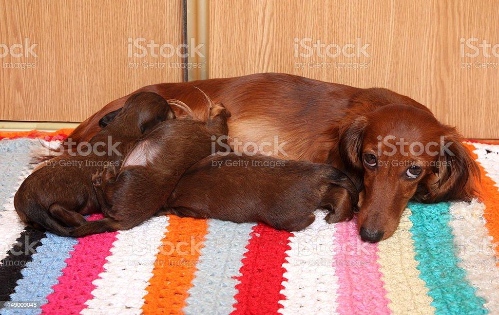 Dog feeding puppies stock photo