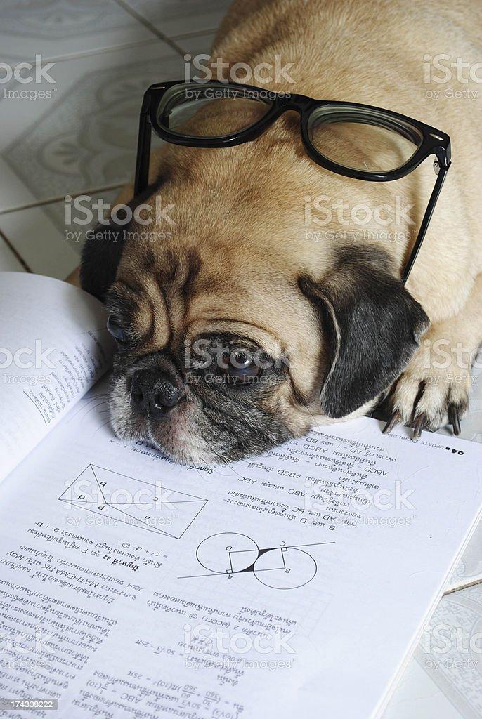 Dog Fell Asleep while doing her homework royalty-free stock photo