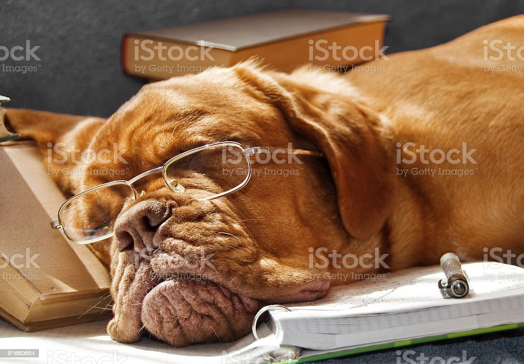 Dog Fell Asleep While Doing Homework royalty-free stock photo
