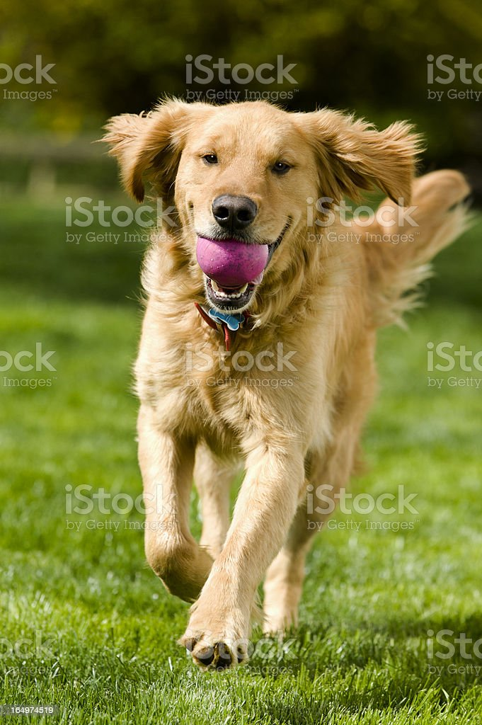 Dog - Fetch royalty-free stock photo