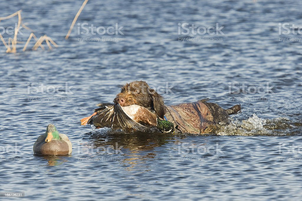 Dog fetching a duck stock photo