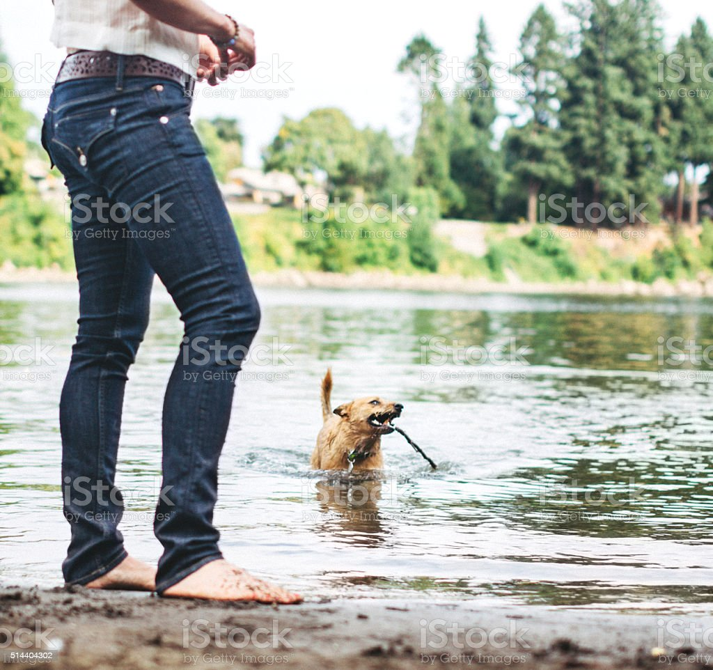 Dog Fetching Stick in Water stock photo