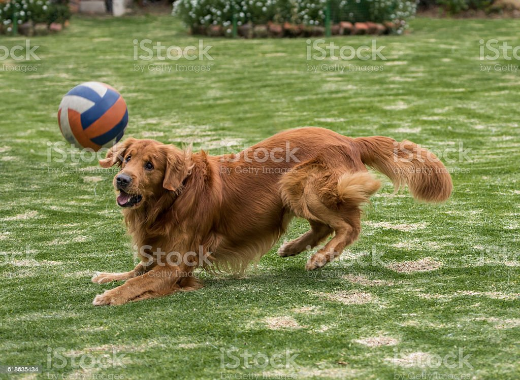 Dog fetching the ball stock photo