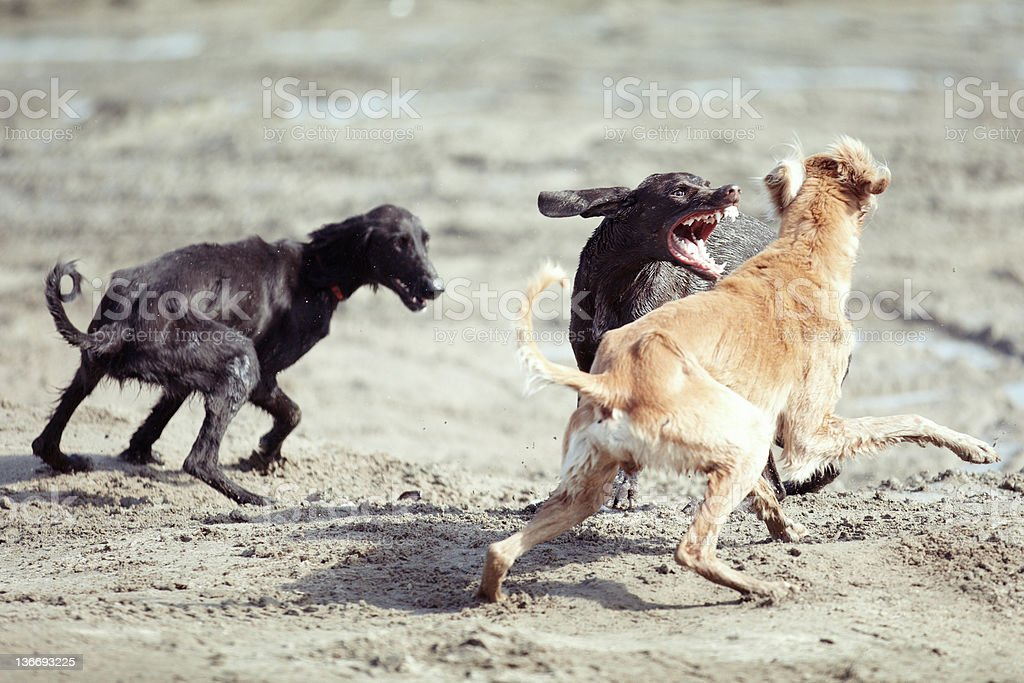 Dog fight royalty-free stock photo