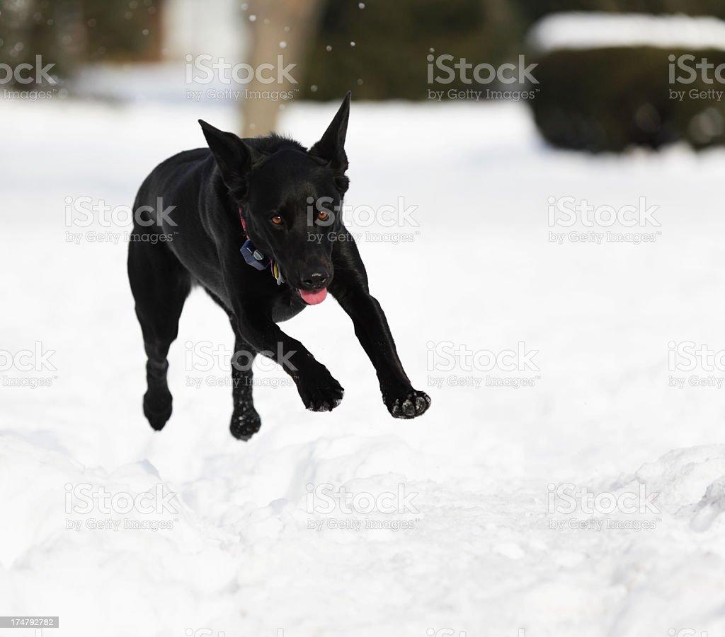 Dog Flying Over Deep Snow stock photo