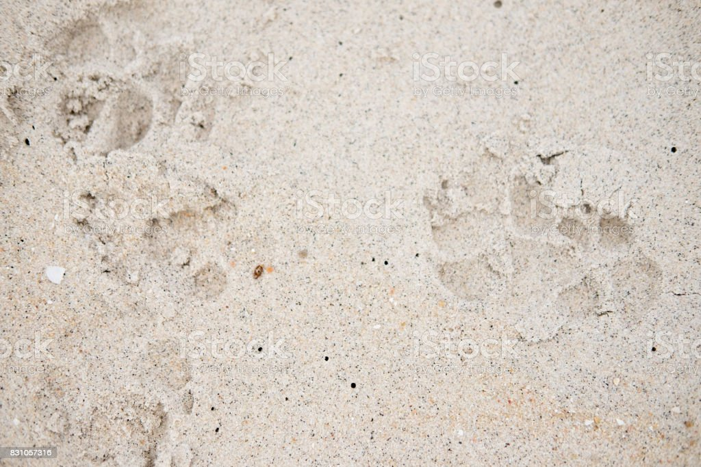 Dog footprints in a sandy beach stock photo