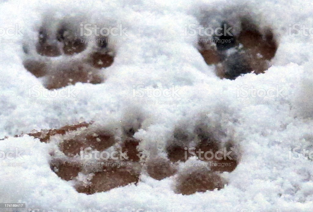 dog footprints in the snow stock photo