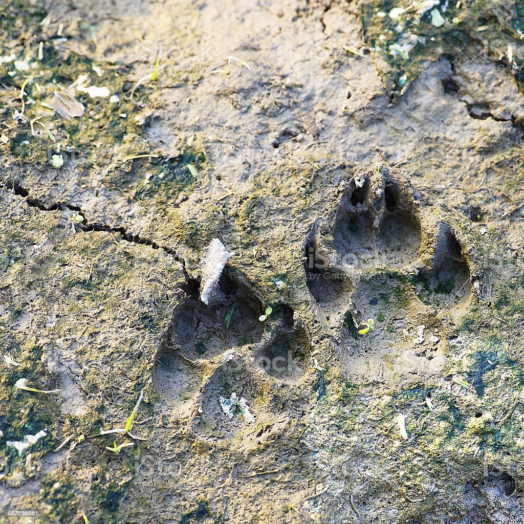 Dog footprints on the mud royalty-free stock photo
