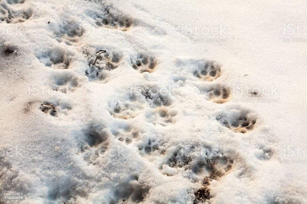 Dog footprints on the snow stock photo