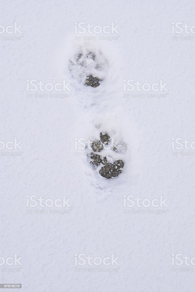 Dog footprints royalty-free stock photo