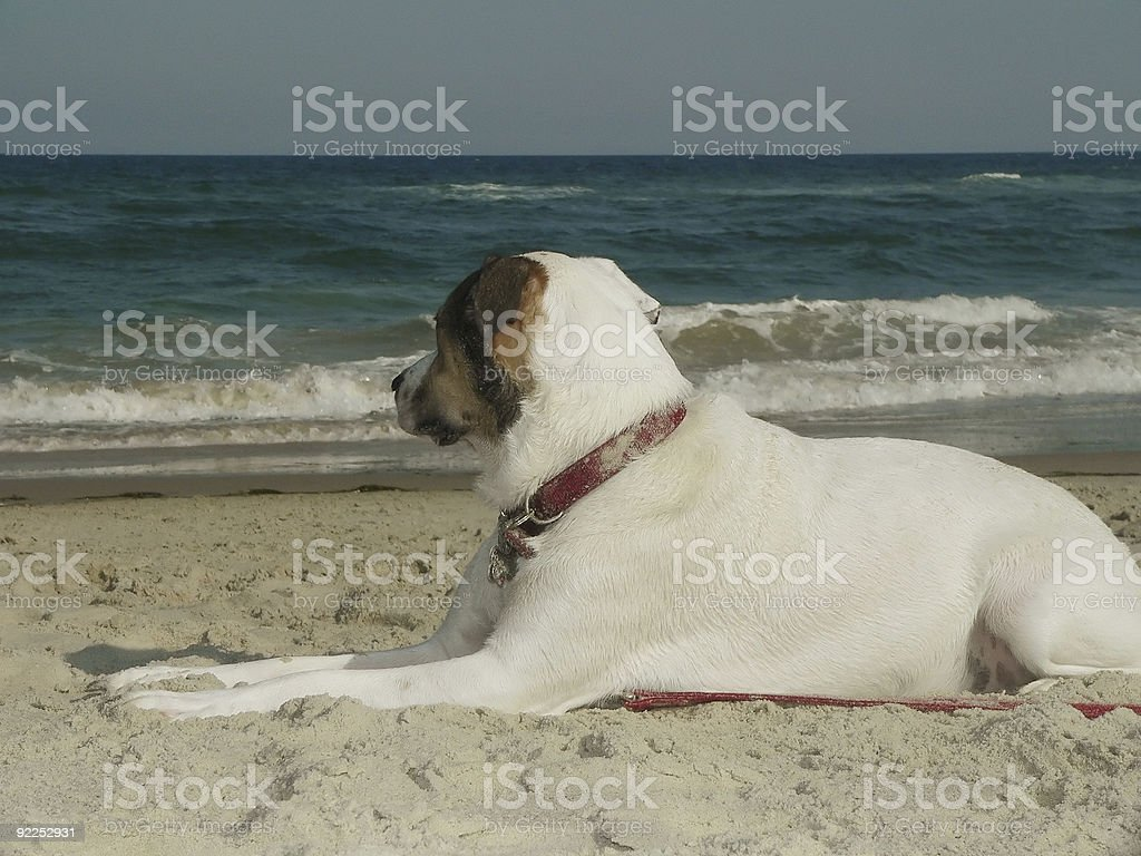 Dog Gazing at the water stock photo