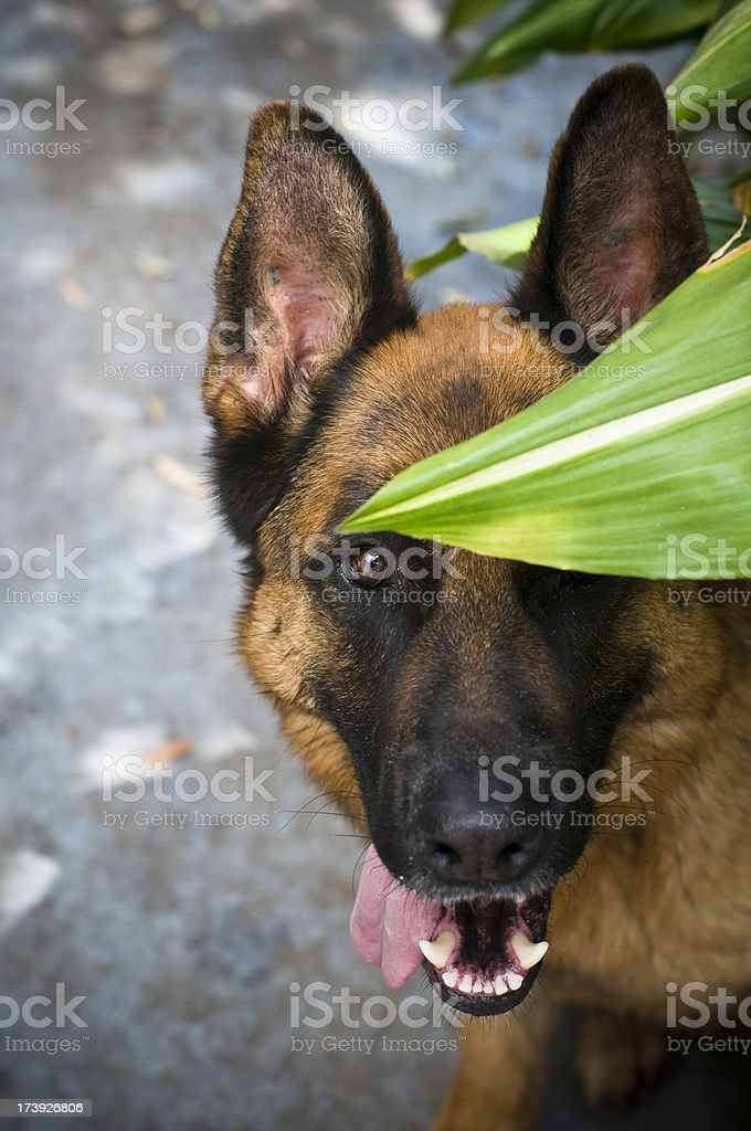 Dog German Shepherd looking towards the camera royalty-free stock photo