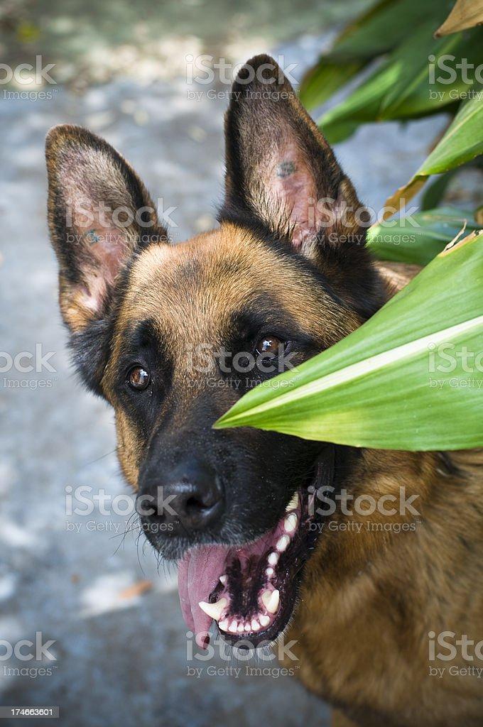 Dog German Shepherd looking towards the camera stock photo
