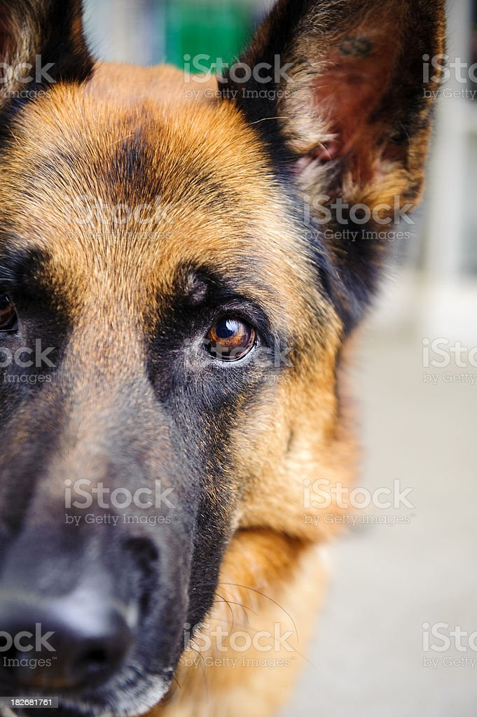 Dog German Shepherd looking towards the camera stock photo