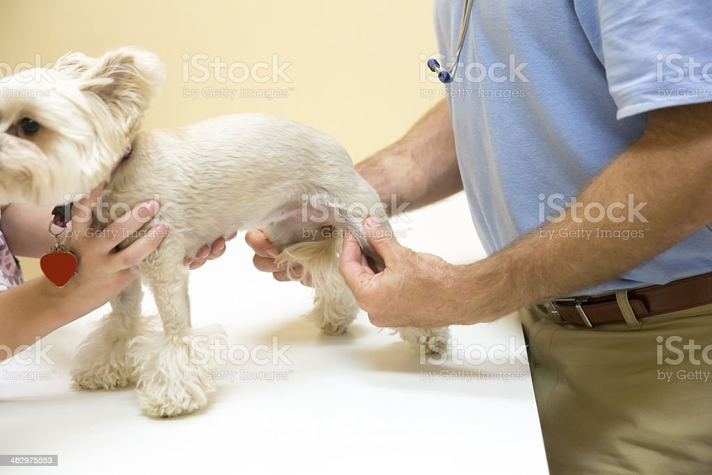 Dog getting joints checked at the Vet stock photo