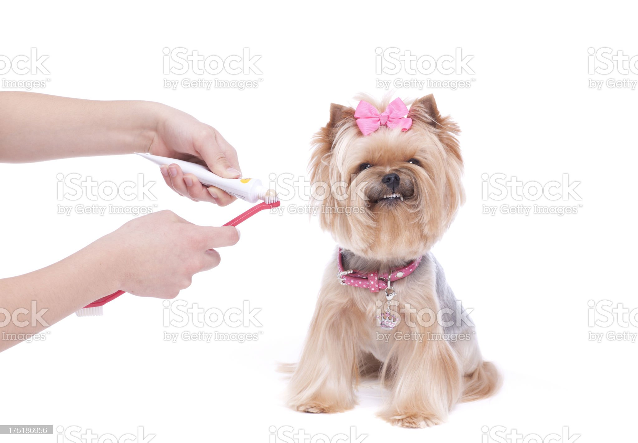 Dog getting teeth brushed and showing off smile royalty-free stock photo