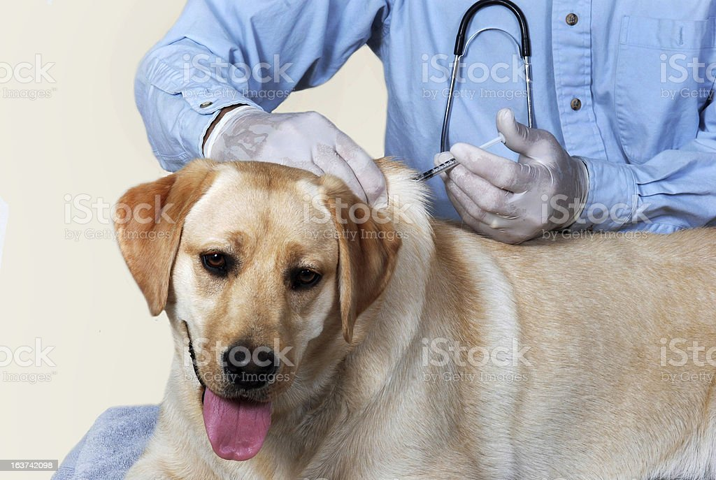 Dog getting vaccination royalty-free stock photo
