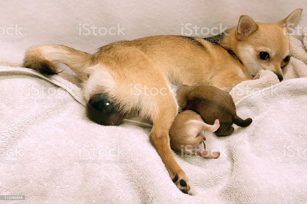 Dog giving  Birth stock photo
