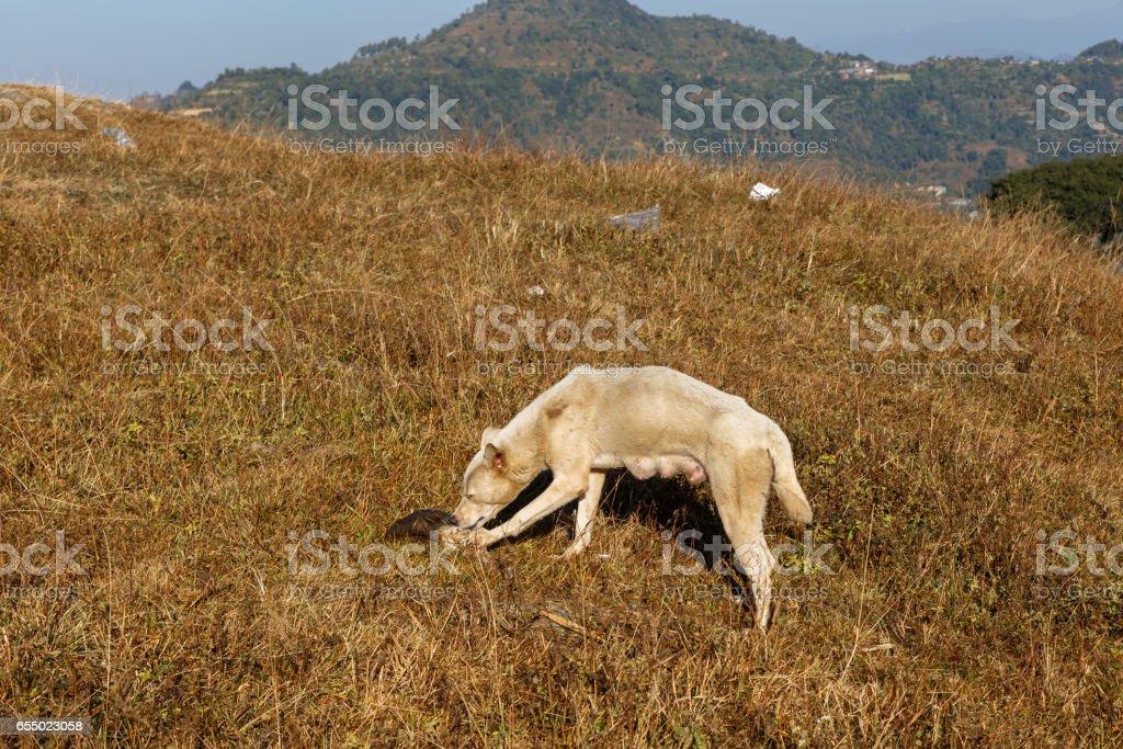 Dog gnawing bone on grass stock photo