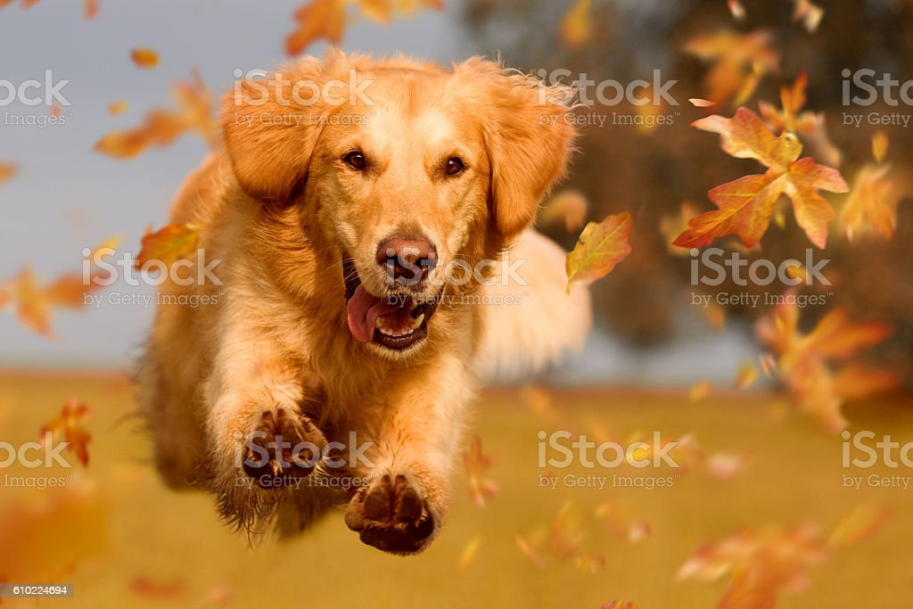 Dog, golden retriever jumping through autumn leaves stock photo