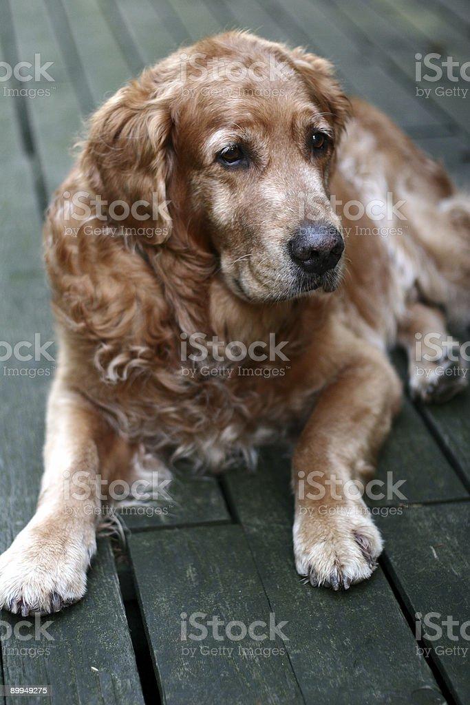 dog golden retriever royalty-free stock photo