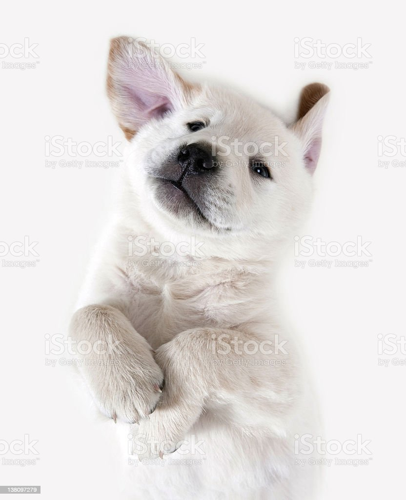 Dog - Golden Retriever Puppy royalty-free stock photo