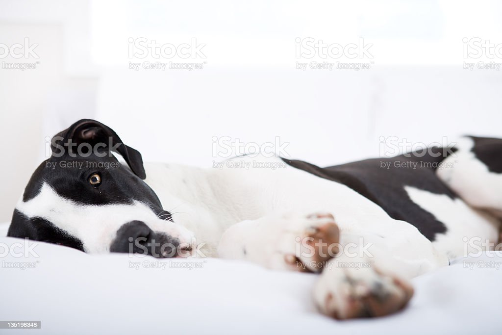 Dog Great Dane lying on bed royalty-free stock photo