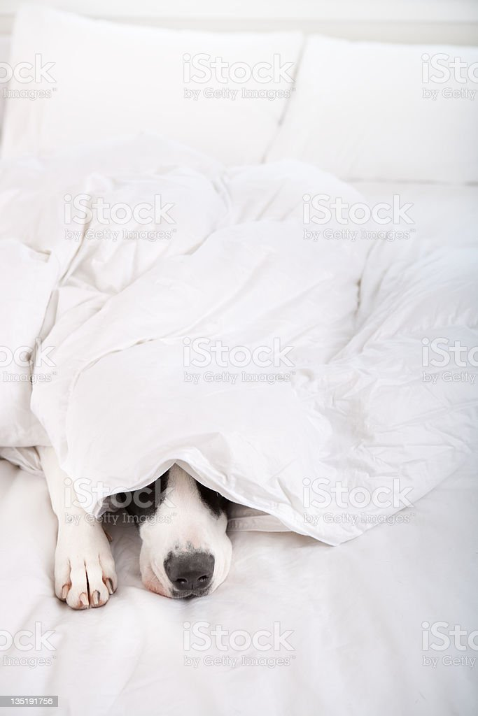 Dog Great Dane sleeping in bed stock photo