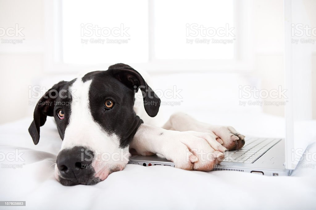 Dog Great Dane using Laptop in bed royalty-free stock photo