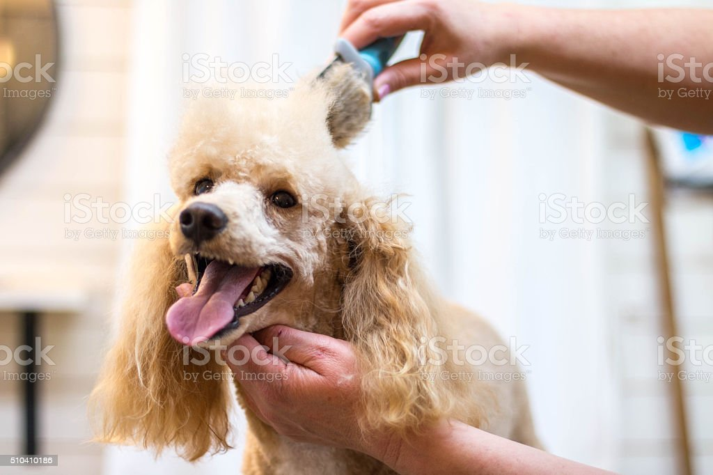 Dog grooming a poodle stock photo