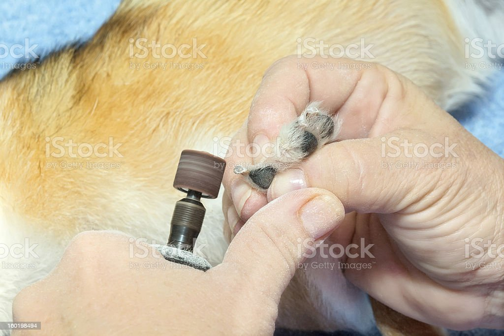 Dog grooming Grinding dogs nails stock photo