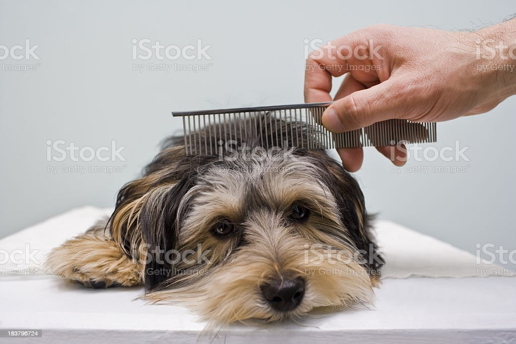 Dog Grooming with a comb royalty-free stock photo