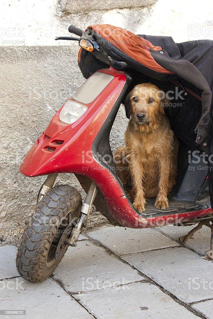 Dog guarding his master's motorbike royalty-free stock photo