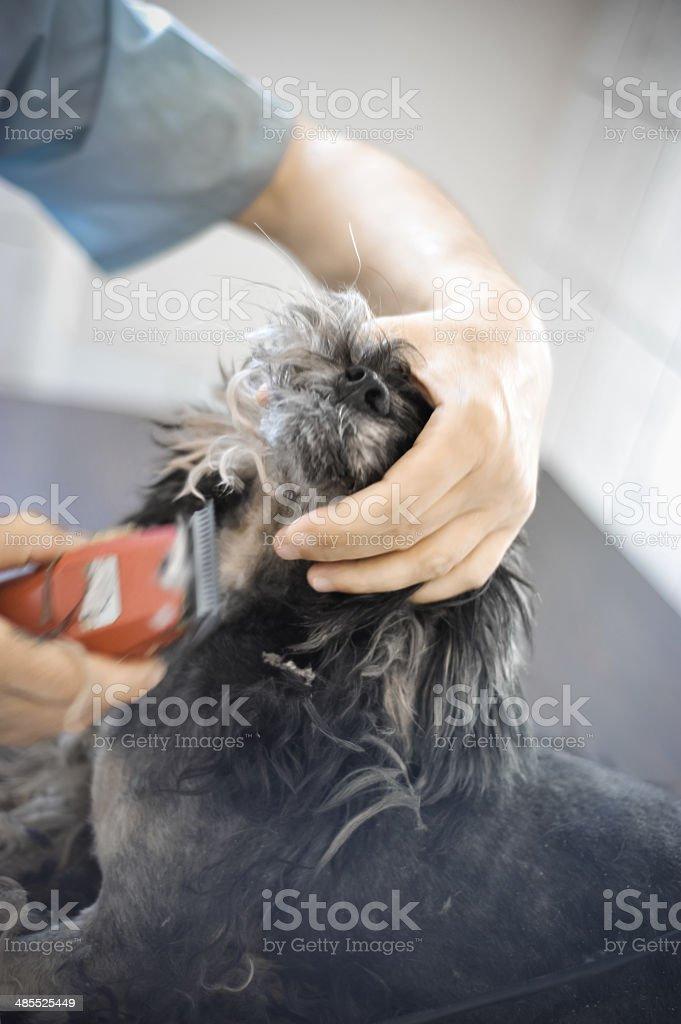 Dog Hair Cut royalty-free stock photo