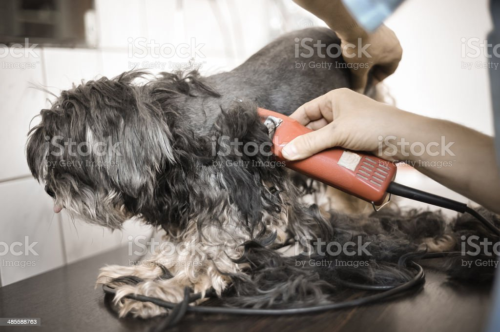 Dog Hair Cut royalty-free stock photo