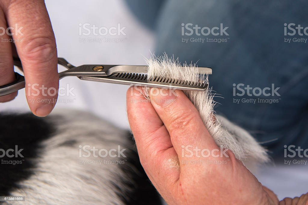 Dog hair cutting with the thinning scissors - grooming stock photo