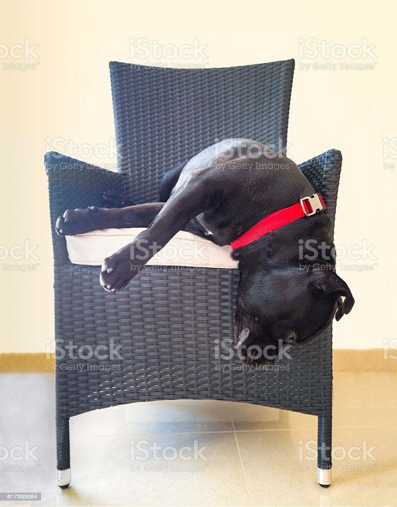 Dog hanging off chair stock photo