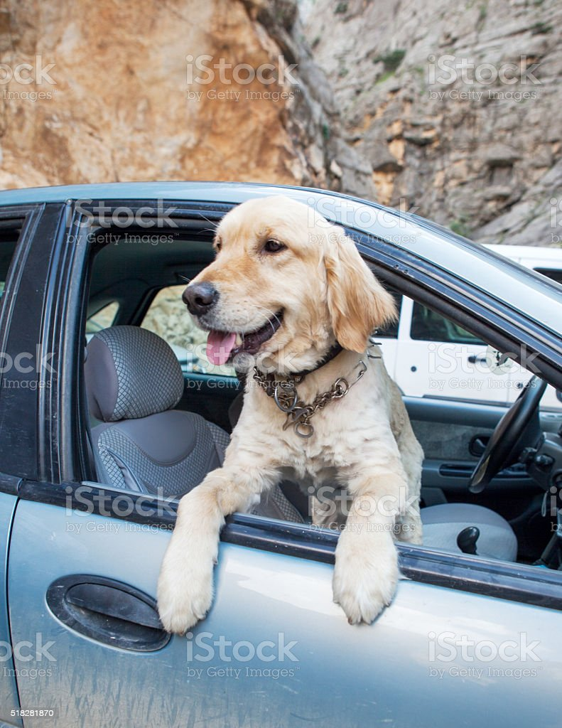 Dog hanging out of a window stock photo