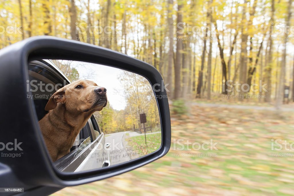 Dog hanging out window. stock photo