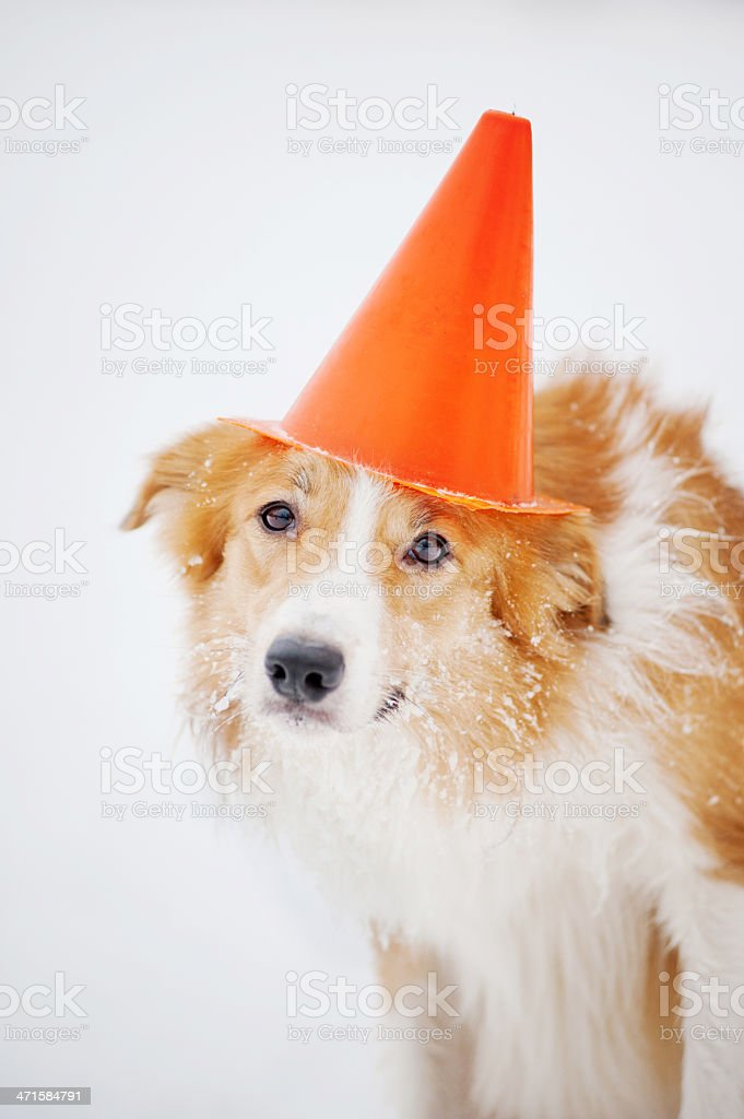 dog have fun with cone portrait in winter royalty-free stock photo