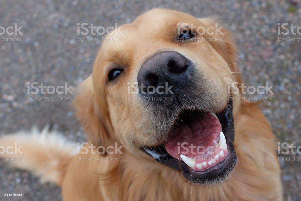 Dog (Golden retriever) having a big smile. stock photo