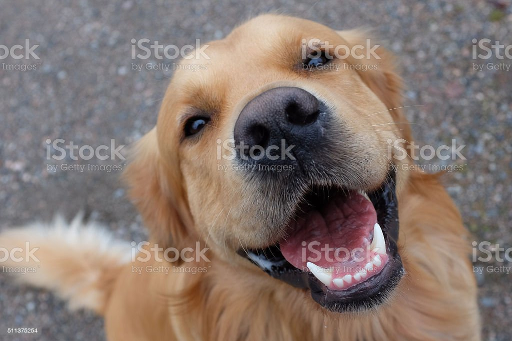 Dog (Golden retriever) having a big smile. stock photo
