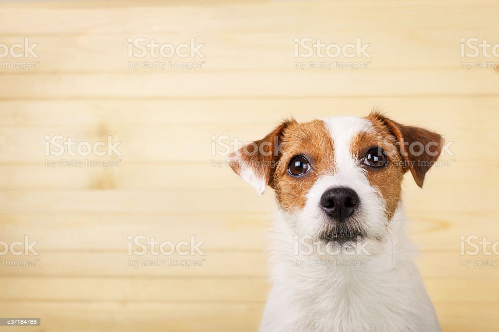 Dog headshot on a wooden background stock photo