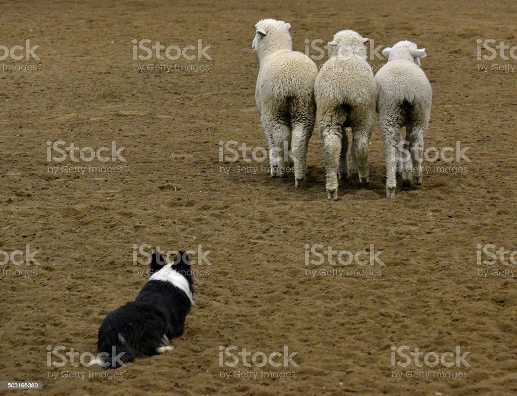 Dog Herding Sheep stock photo