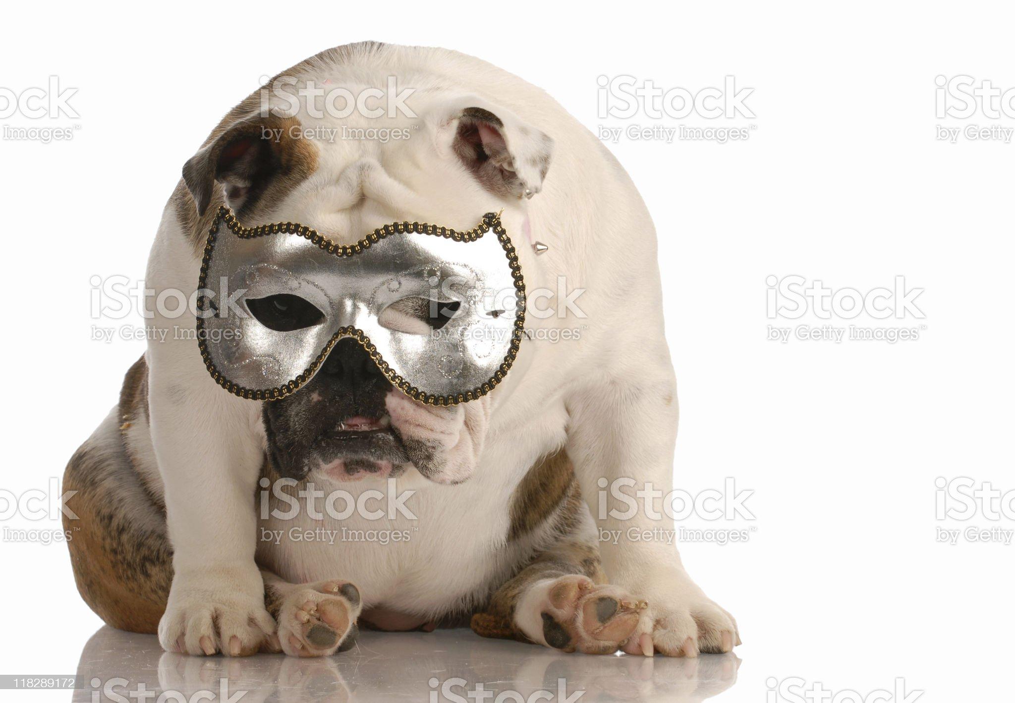 dog hiding behind a mask royalty-free stock photo