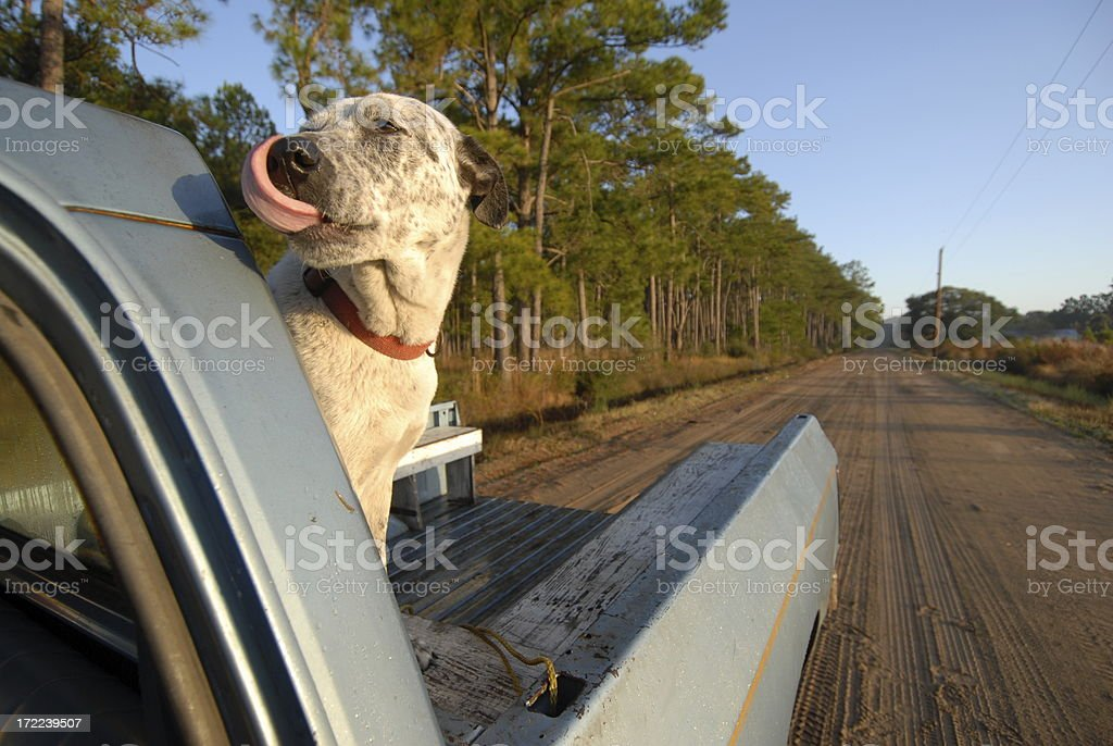 Dog hitches ride in back of a pick up truck. royalty-free stock photo