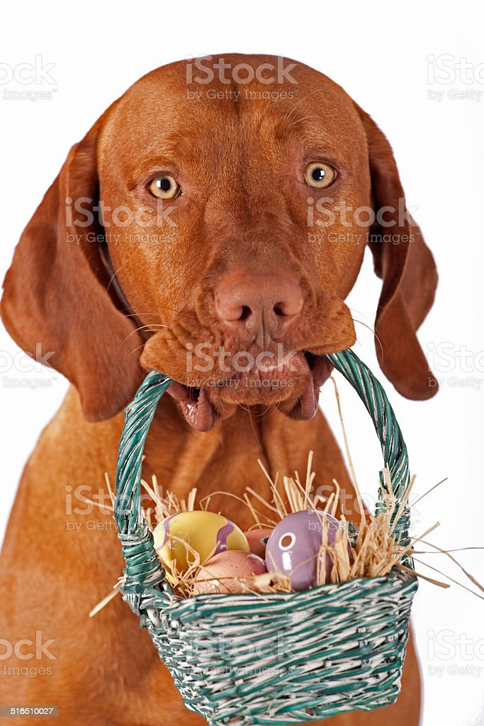 dog hoding Easter basket stock photo