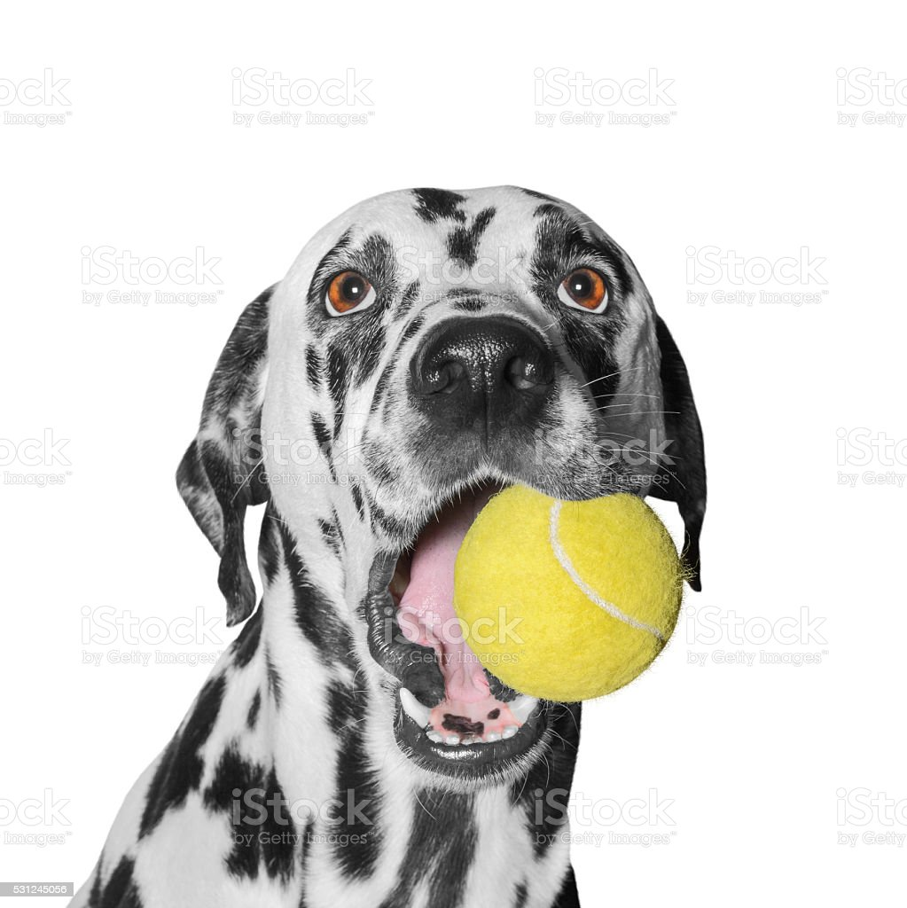 dog holding a ball stock photo