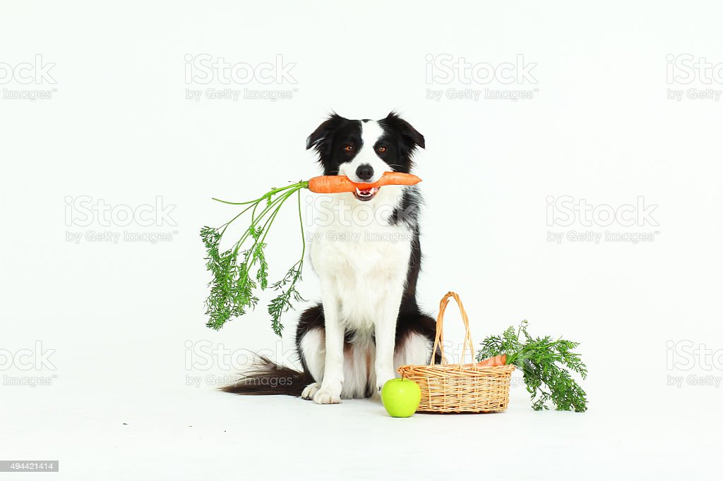 Dog holding a carrot stock photo